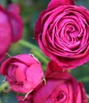 Pink Scented Air Spray Roses