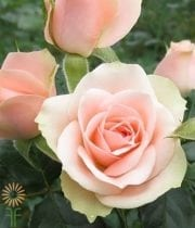 Peach Sara Spray Roses