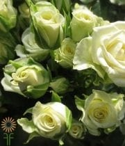 White Snowflake Spray Roses
