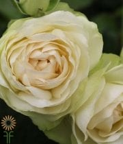 White Vanilla Lace Garden Spray Roses