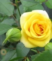Yellow Babe Spray Roses