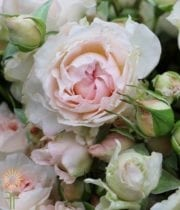 Blush Pink Bridal Bouquet Garden Spray Roses, CA