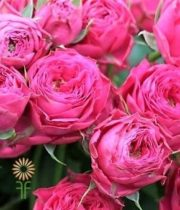 Pink Bright As A Button Garden Spray Roses