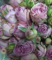 Lavender Lace Spray Roses