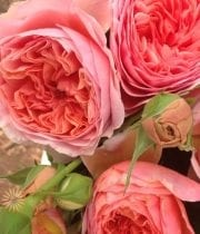 Pink Clair DeLune Garden Spray Roses