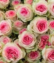 Rose, Garden Spray CA-Eden Climber-light Pink