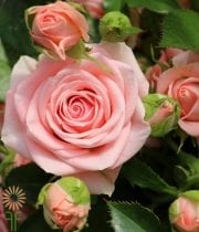 Light Pink Spray Garden Roses