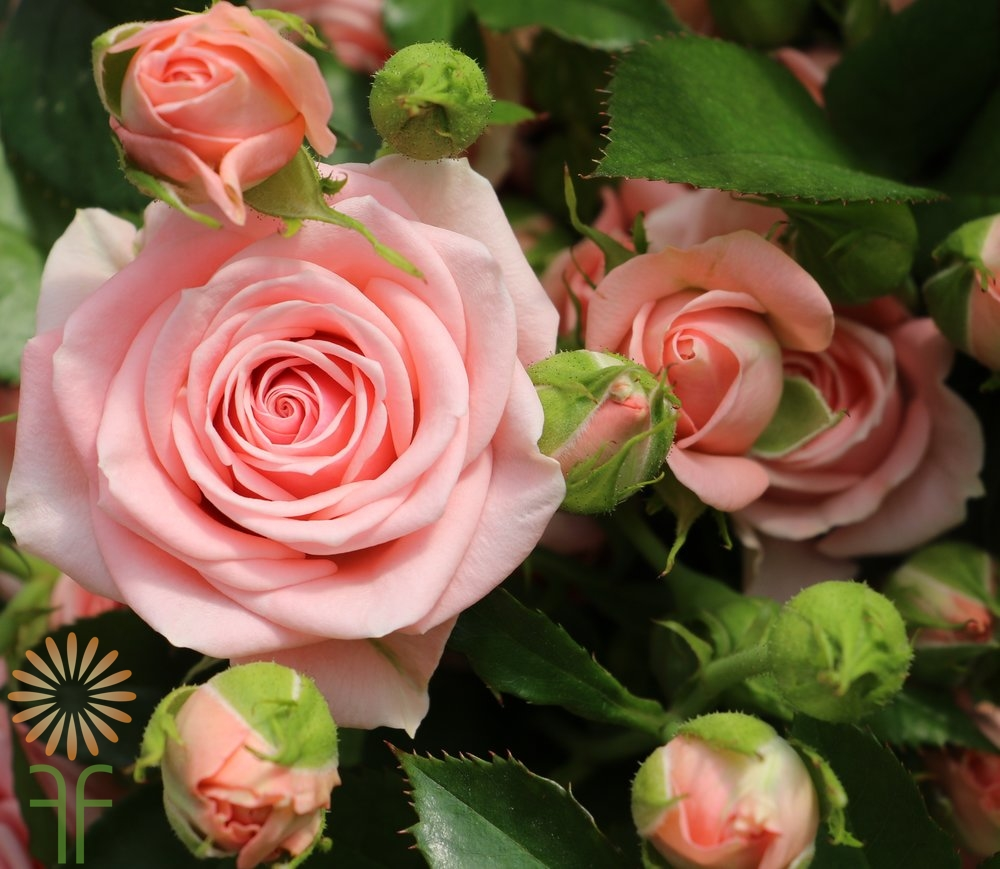 Buy wholesale fresh and stunning light pink garden spray roses