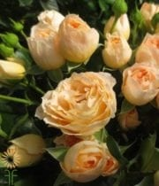 Rose, Garden Spray CA-Quatre Coeurs-yellow/gold