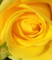 Yellow Penny Lane Roses