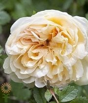 Rose, Spray CA-Agnes-light Yellow
