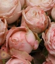 Blush Bombastic Spray Roses