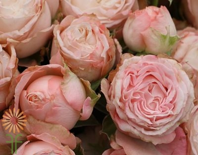 Bombastic-PINK-SPRAY-ROSE