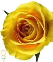 Yellow Moon Roses