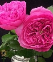 Hot Pink Baronesse Garden Spray Roses
