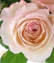 Like A Virgin Garden Roses
