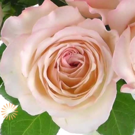 """Buy fresh and stunning blush pink """"Like a Virgin"""" garden roses online! Garden Roses are a very popular base flower for wedding bouquets, centerpieces and wedding decor"""