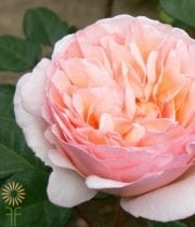 Peach-Pink Princess Charlene Garden Roses, S.A