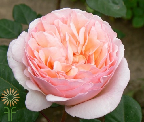 Buy fresh and stunning peach & pink Princess Charlene garden roses
