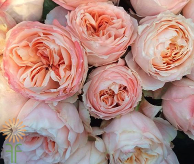 Buy fresh and stunning peach Princess Sakura garden roses online