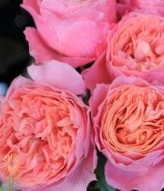 Rose, Garden S.A.-Rosa Loves Me-coral