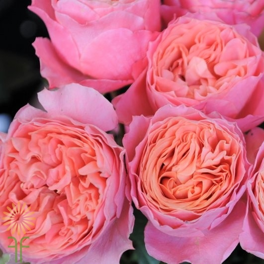 wholesale flowers | garden rose rosa