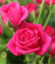 Pink Hot Lolyta Garden Spray Roses