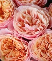 Roses Wholesale Flowers Bulk Diy Wedding Flowers