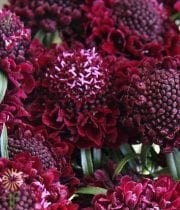 Scabiosa, Raspberry Scoop-red