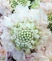 Scabiosa, Vanilla Scoop-white