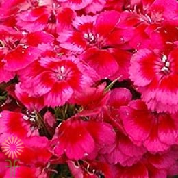 wholesale flowers | Sweet William coral