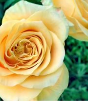 Yellow Turtle Roses