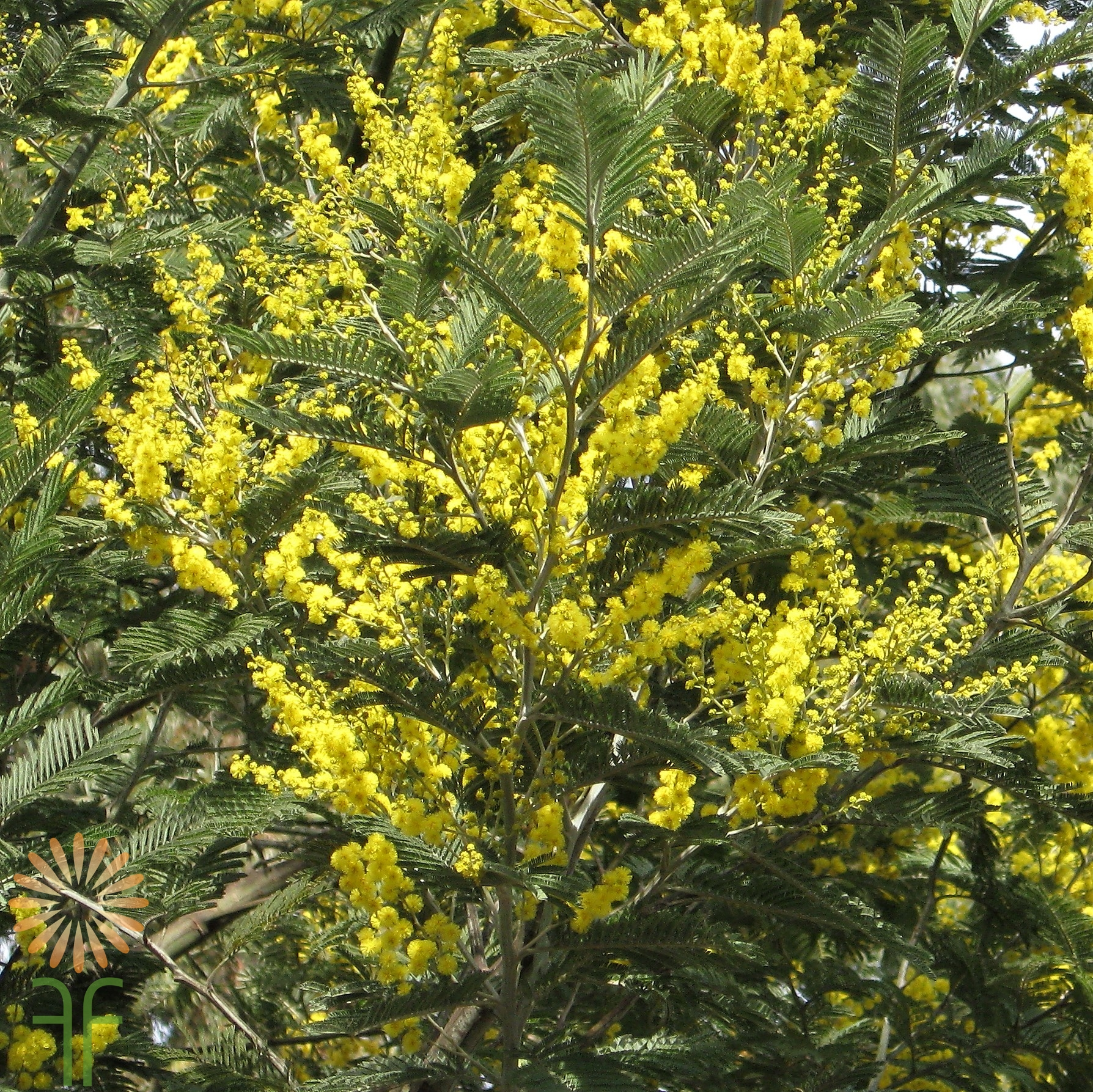 Buy Beautiful Yellow Mimosa Acacia Greenery Online Today