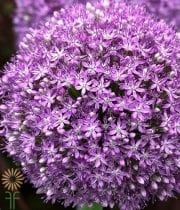 Allium, Ambassador-purple