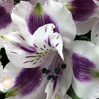 Wholesale alstroemeria-purple-white