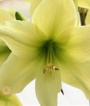 Amaryllis-green (3 Stems)