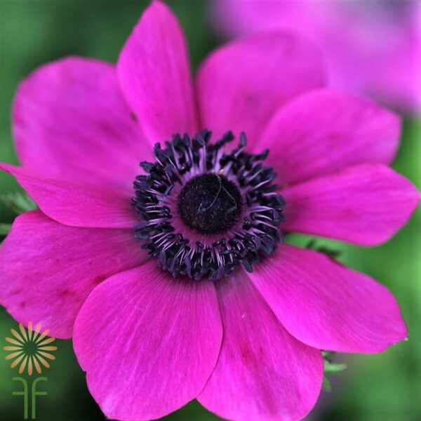 anemone-hot-pink wholesale