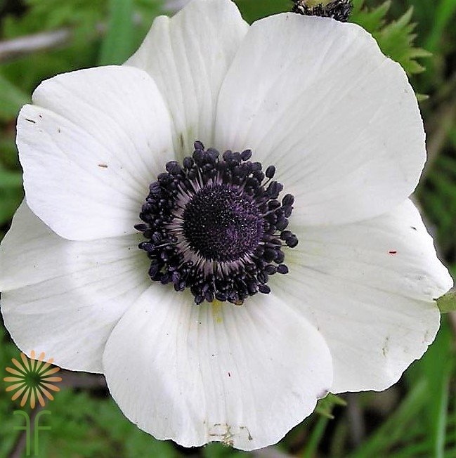 Buy White Anemone Flowers with Black centers online!