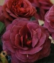 Rose, Spray CA-Rubicon-burgundy-CPF