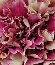 Mauve Specialty Antigua Carnations