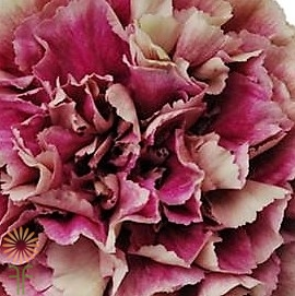 wholesale carnation-ANTIGUA-bicolor