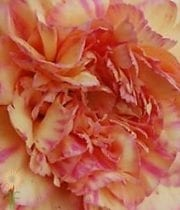 Peach Specialty Gioia Carnations