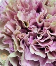 Dusty Pink Specialty Babylon Carnations