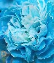 Carnations-tinted Blue