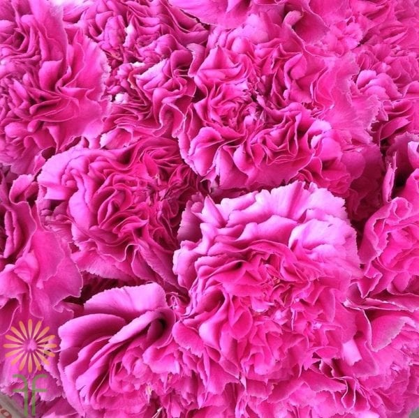 wholesale carnation-farida-pink