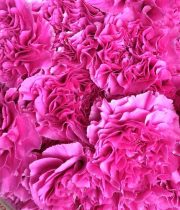 Pink Specialty Farida Carnations