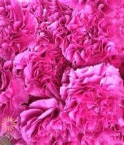 Carnations, Specialty-Farida-pink