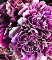 Carnations, Specialty-Hurricane-bicolor