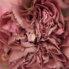 wholesale carnation-lege-dusty-pink