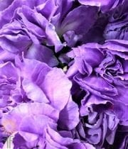 Carnations, Mini Moonpearl-lavender